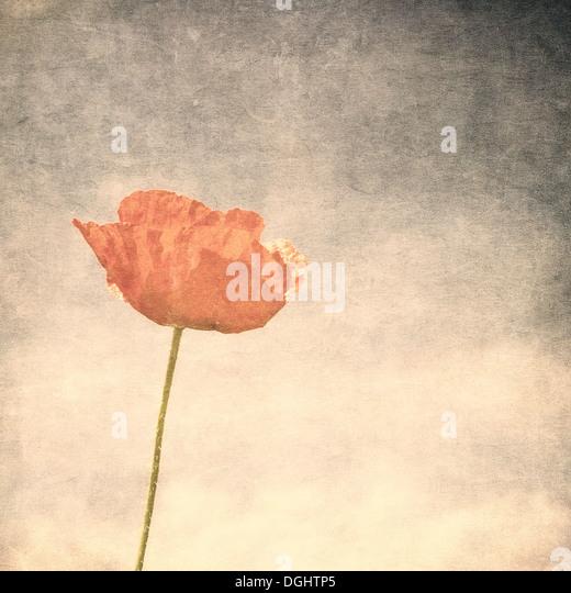 Vintage image of poppy - Stock-Bilder