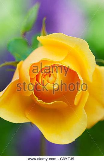 Rosa 'Graham Thomas'. English Rose - Stock Image