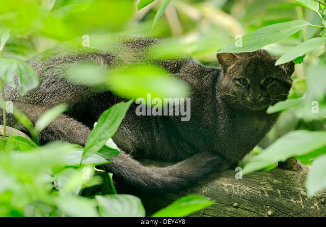 Jaguarundi (Herpailurus yagouaroundi, Felis yagouaroundi) occurrence in South America, captive, France - Stock Image