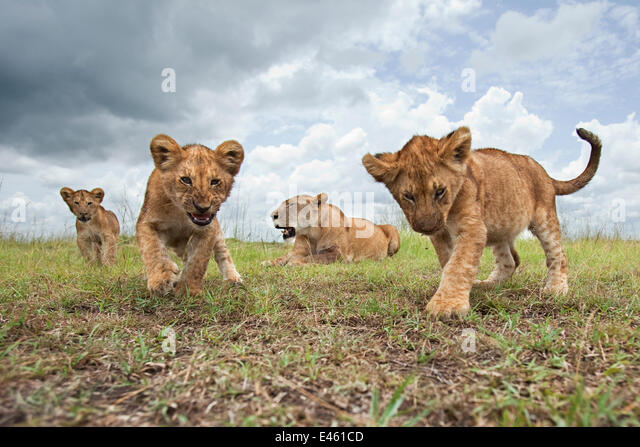 African lion (Panthera leo) cubs aged 6-9 months approaching with curiosity watched by their mother, Masai Mara - Stock-Bilder