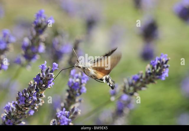 Hummingbird Moth On Lavender Stock Photos Amp Hummingbird