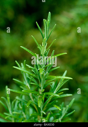 ROSEMARY PLANT GROWING IN A VEGETABLE GARDEN  ( ROSMARINUS OFFICINALIS ) - Stock Image