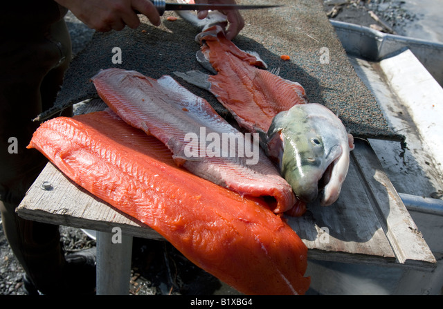 Filleting of a red salmon at the Copper River near the village of Chitina Alaska USA - Stock Image