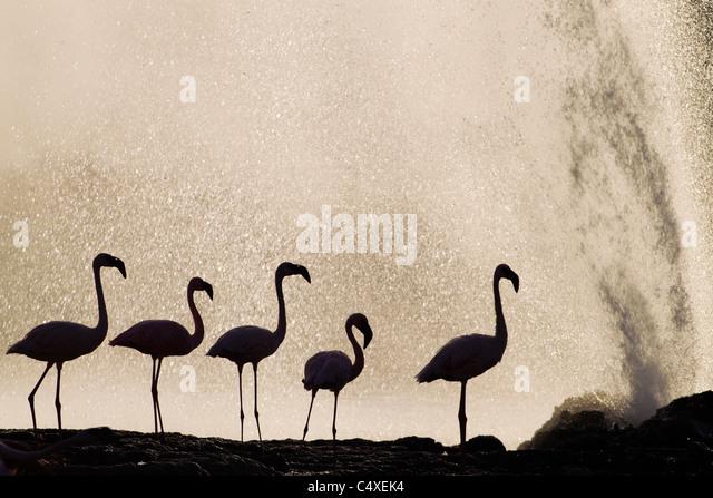 Lesser Flamingo (Phoenicopterus minor ) at Lake Bogoria?s geyser and hot springs.Kenya - Stock-Bilder