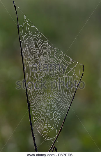 Dew covered spider web - Stock Image