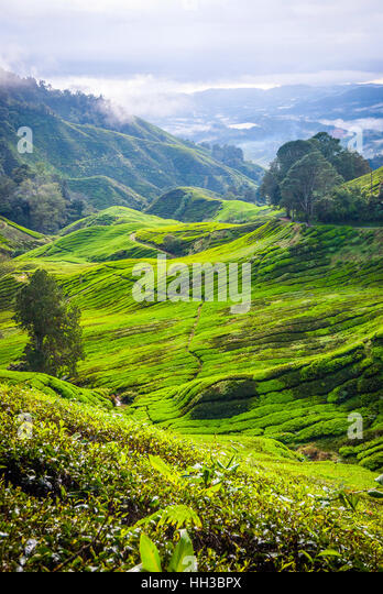 Scenic valley with tea plantation, Cameron highlands, Malaysia - Stock Image