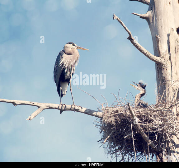 Great Blue Herons in the Nest , adult and baby - Stock Image