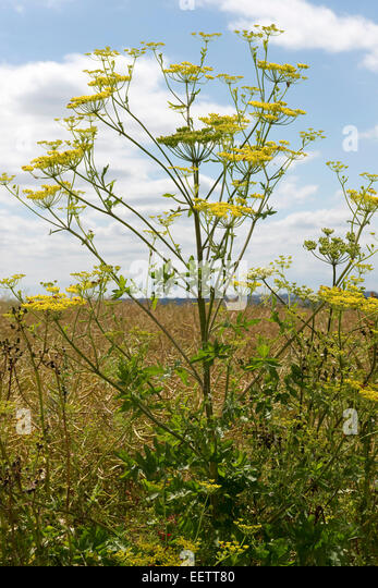 Yellow wild parsnip, Pastinaca sativa, plant in flower on a fine summer day, Berkshire, July - Stock Image