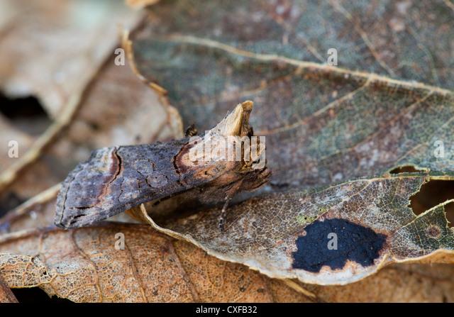 Dark Spectacle Moth; Abrostola triplasia; leaves; UK - Stock Image
