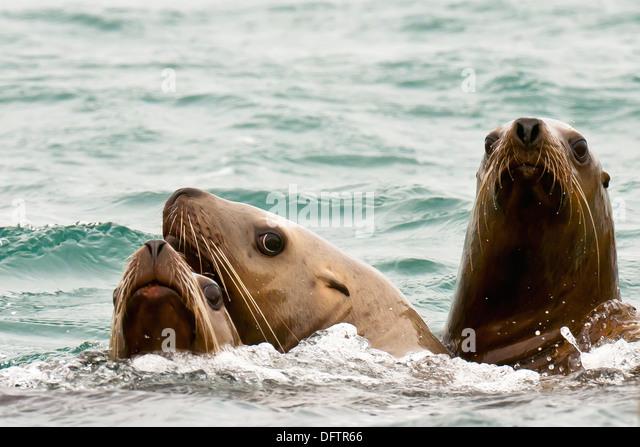 Sea lions, Bartlett Cove, Glacier Bay, near Gustavus, southeast Alaska USA - Stock Image