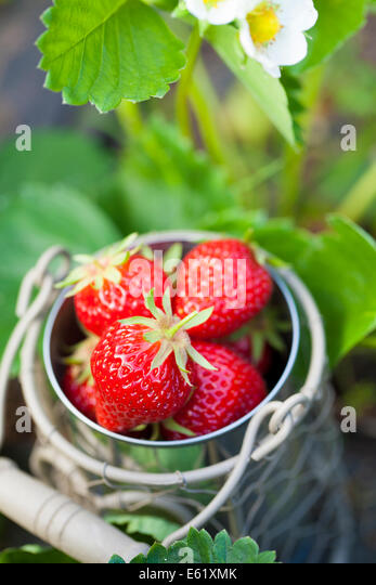 Strawberries, collected from the garden. - Stock Image