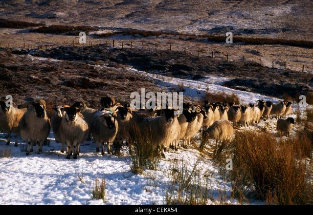 Sheep, Winter In Glenshane, Co Derry, Ireland - Stock Image