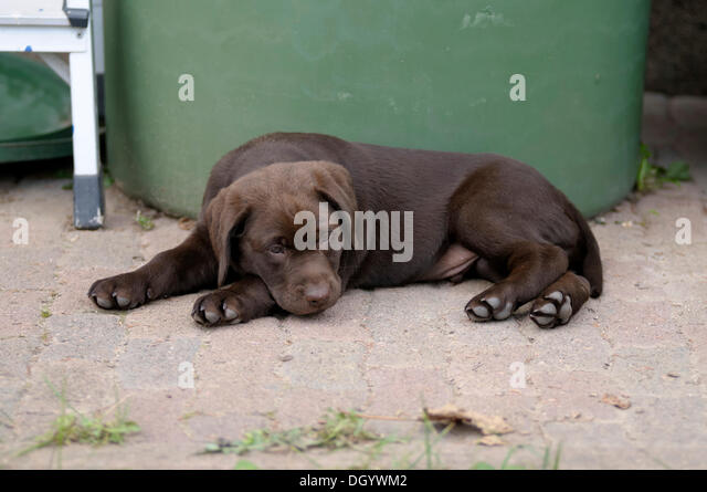 Brown Labrador Retriever, puppy lying in front of a barrel - Stock Image