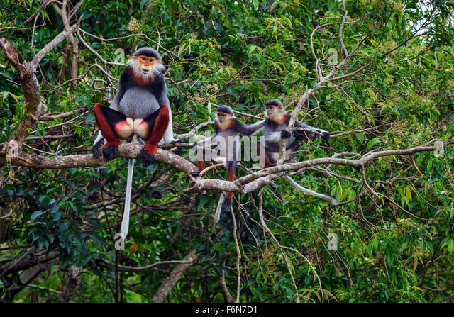 Adult male Red-shanked douc babysitting in the canopy at Son Tra nature reserve in Vietnam - Stock-Bilder