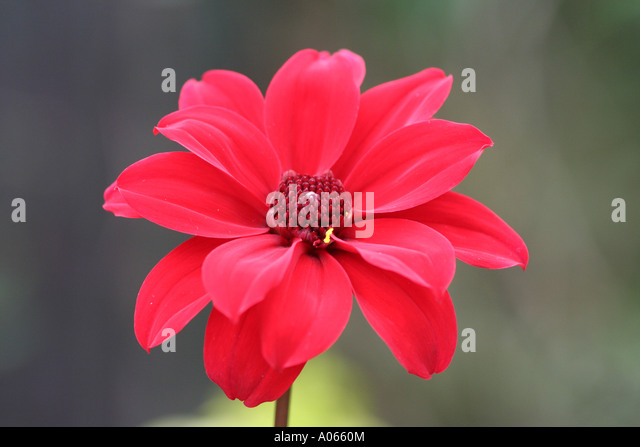 Red Dahlia - Stock Image