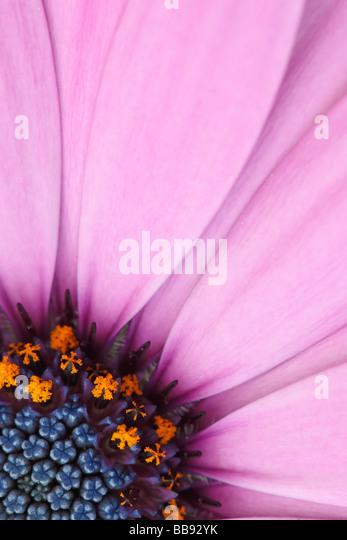 Osteospermum Flower Portrait - Stock-Bilder