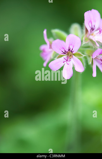 Pelargonium graveolens 'round leaf rose'. Scented Geranium or Old Fashioned Rose Geranium flowers - Stock Image