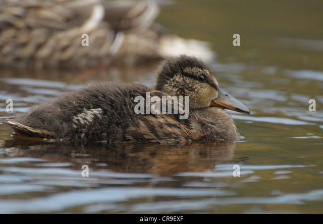 Mallard duckling in water, Scotland. - Stock Image