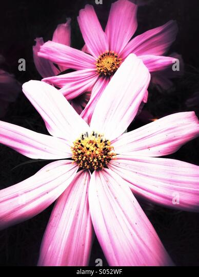 Pink cosmos flowers - Stock Image
