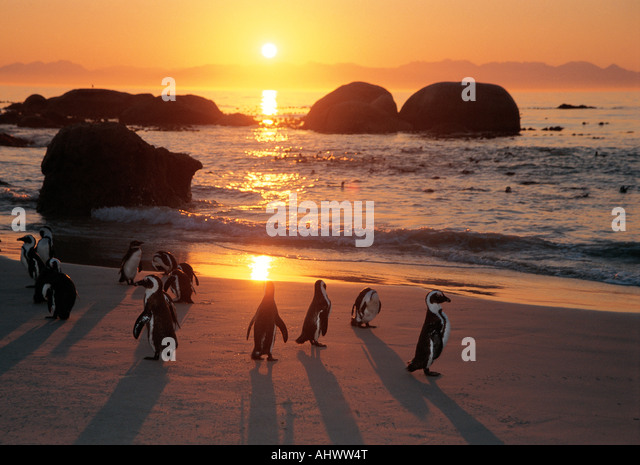 Fourteen 14 Jackass penguins on the beach at The Boulders a bird sanctuary near Simonstown West Cape South Africa - Stock Image