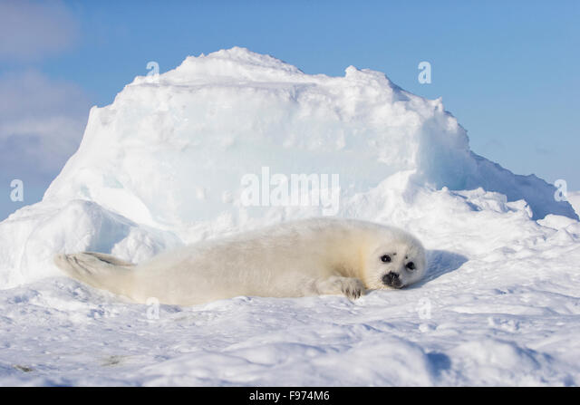 Harp seal (Pagophilus groenlandicus), whitecoat pup, on sea ice, Gulf of St. Lawrence, near Îles de la Madeleine - Stock Image