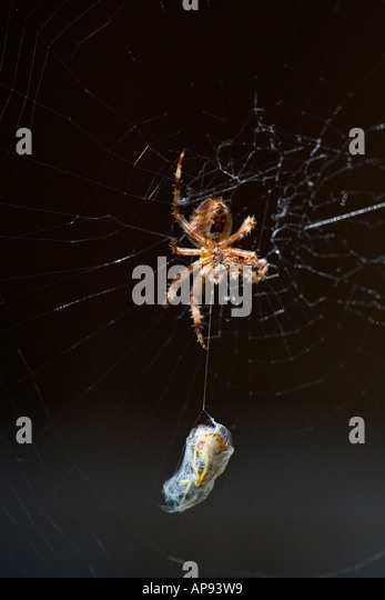 A EUROPEAN GARDEN SPIDER WITH A WASP COCOONED READY FOR LUNCH - Stock Image