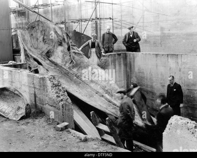 Sperm whale excavation, Natural History Museum, 1938 - Stock Image