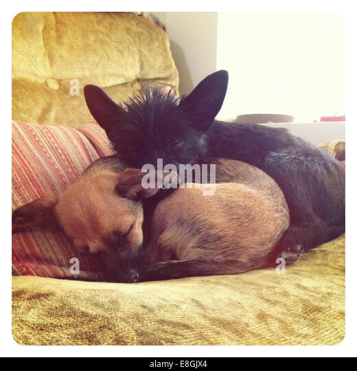 USA, California, San Francisco, Sleeping puppies - Stock Image