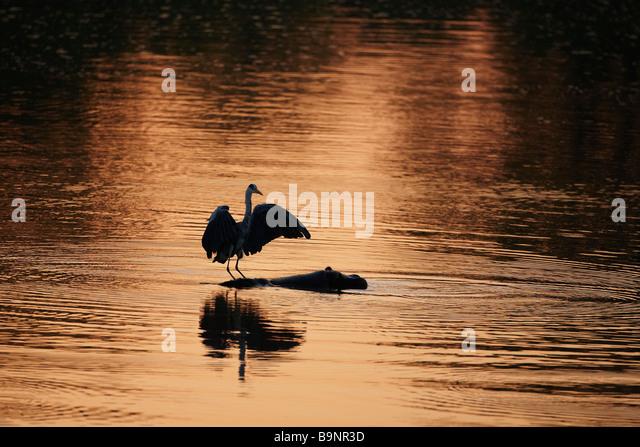 grey heron landing on a hippopotamus back in a river, Kruger National Park, South Africa - Stock-Bilder