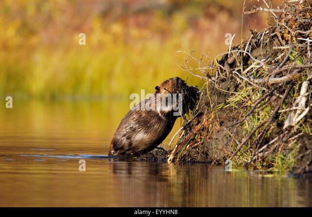 Canadian beaver castor stock photos canadian beaver for Castor habitat