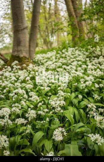 A woodland walk in Spring time in Suffolk with wild garlic flowers - Stock-Bilder