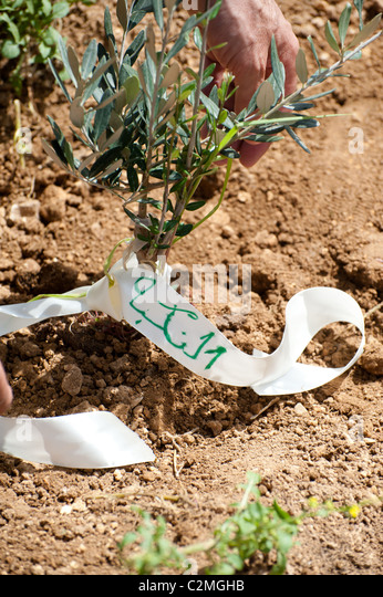 A ribbon around an olive tree seedling with the word 'Nakba,' Arabic for the  'catastrophe' Palestinians - Stock Image