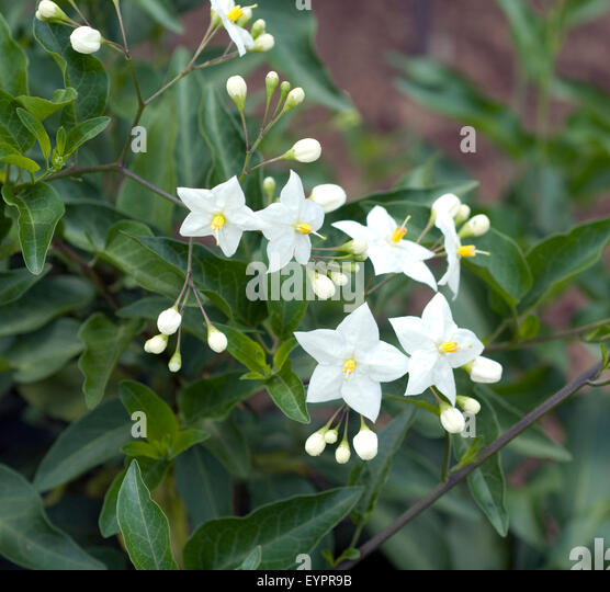 solanum jasminoides stock photos solanum jasminoides. Black Bedroom Furniture Sets. Home Design Ideas