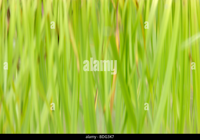 Reeds reflected in water - Stock Image
