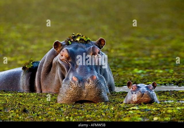 Mother and baby hippo Okavango Delta Botswana - Stock-Bilder