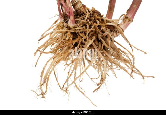 whole fresh root valerian on white background - Stock Image