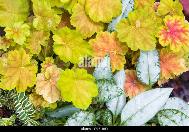 Pulmonaria Cotton Cool & Heuchera Miracle perennial foliage shade plants together, contrast of leaf types, colors, - Stock Image