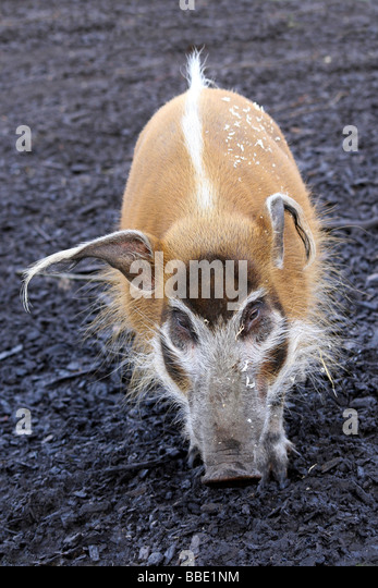 Portrait Of Red River Hog Potamochoerus porcus Taken At Chester Zoo, England, UK - Stock-Bilder