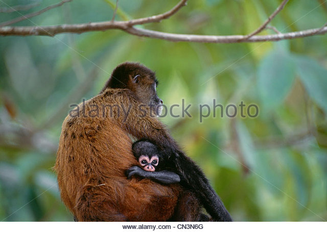 Black-handed spider monkey and infant, Panama - Stock Image