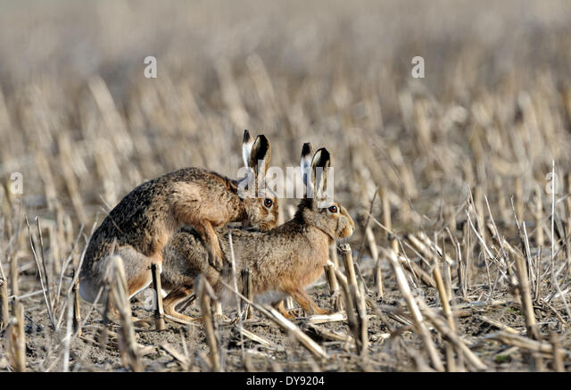 Hare Rabbit Lepus europaeus Pallas brown hare bunny rodent nature wild animal game stubble field mating animals - Stock-Bilder