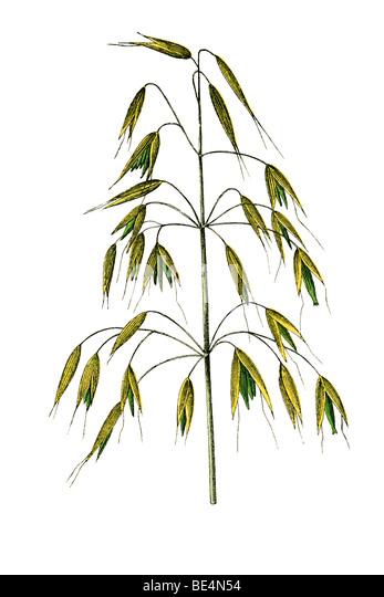 Grass, historical illustration - Stock-Bilder