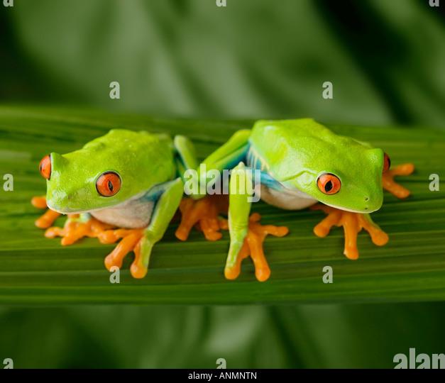 Tree frogs on leaf - Stock Image