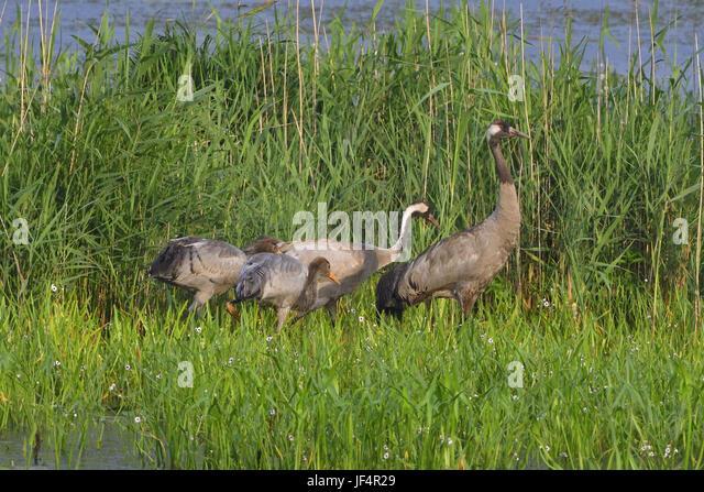 Common Crane family - Stock Image