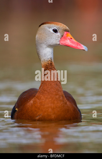 Black-bellied Whistling-Duck (Dendrocygna autumnalis) swimming in pond near Houston, Texas, USA - Stock Image