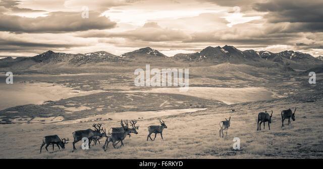 Reindeer survey the fjords near Tromso in Northern Norway - Stock-Bilder