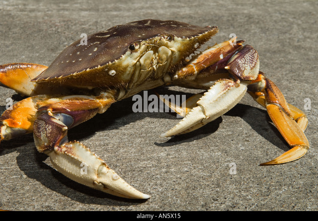 dungeness crab how to eat