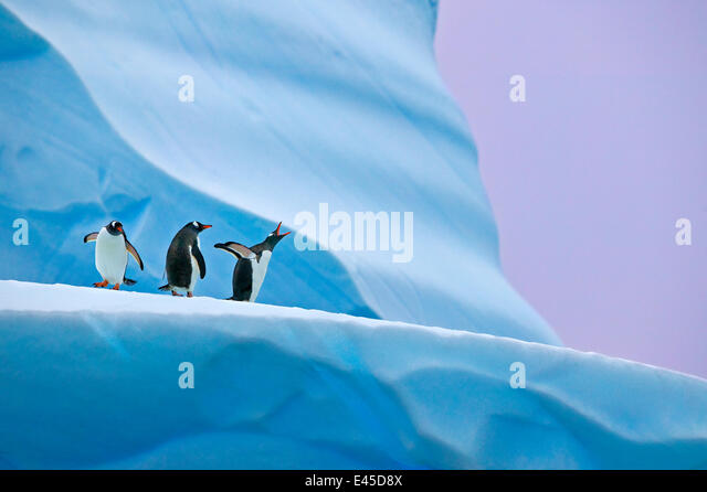 Gentoo penguin (Pygoscelis papua) group on iceberg, Mikkelsen Harbour, Antarctica - Stock Image