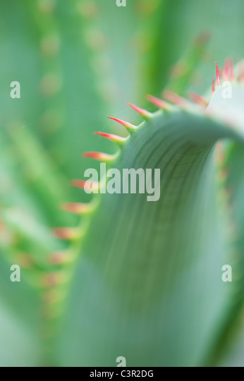 Aloe glauca 'blue aloe' plant abstract - Stock-Bilder