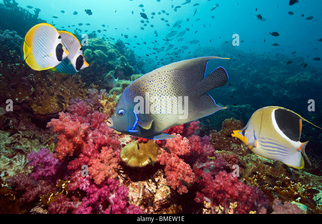 Semicircle angelfish, Saddled and Panda butterflyfish with soft corals, Misool, Raja Ampat, West Papua, Indonesia. - Stock Image