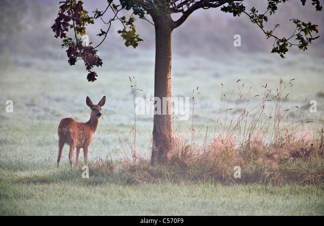 The Netherlands, 's-Graveland, Deer or roe. - Stock Image